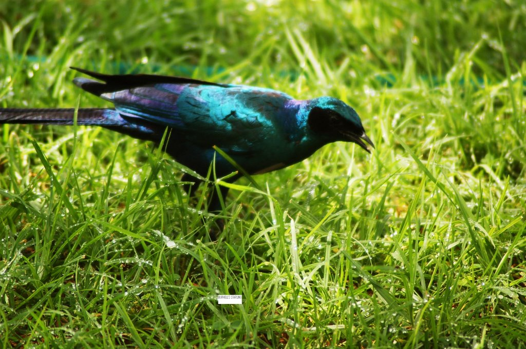 Burcell's Starling, Waterberg